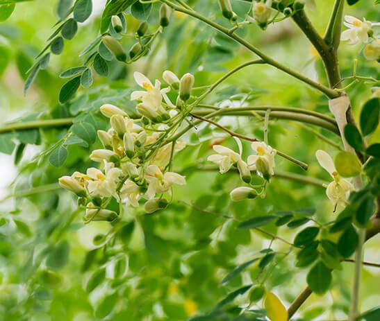 Moringa Oil Image